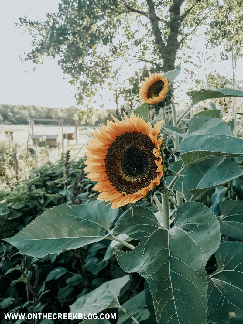 Sunflower in the garden | On The Creek Blog