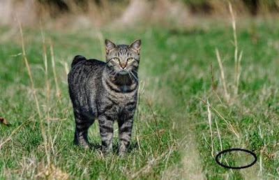 Cat-Manx