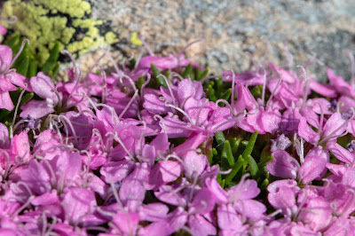 [Caryophyllaceae] Silene acaulis – Moss Campion (Silene a cuscinetto)