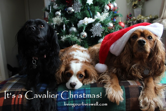 Featuring our Cavalier King Charles Spaniels