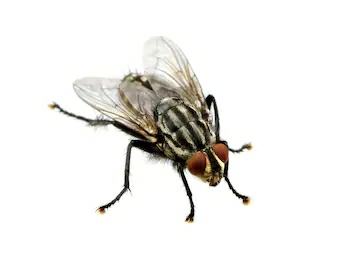 Domestic fly diseases