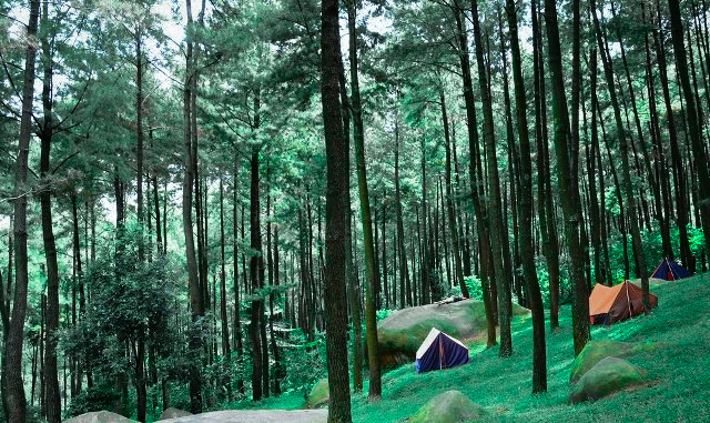 Pesona Hutan Pinus Limpakuwus - Trend Purwokerto