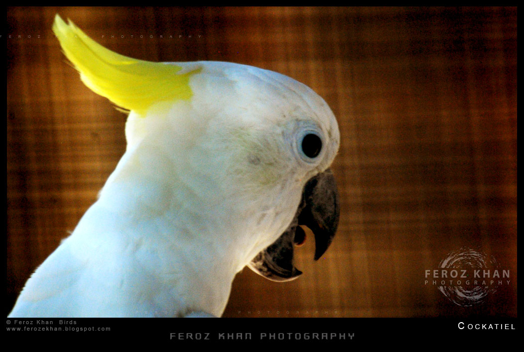 The gallery for --> White Cockatiel Bird