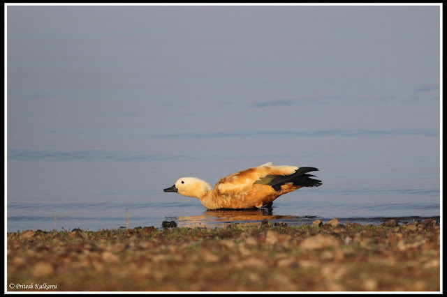 Ruddy Shelduck at Veer Dam
