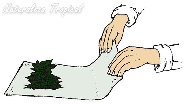 Preparándonos para cubrir las hojas medicinales con la tela
