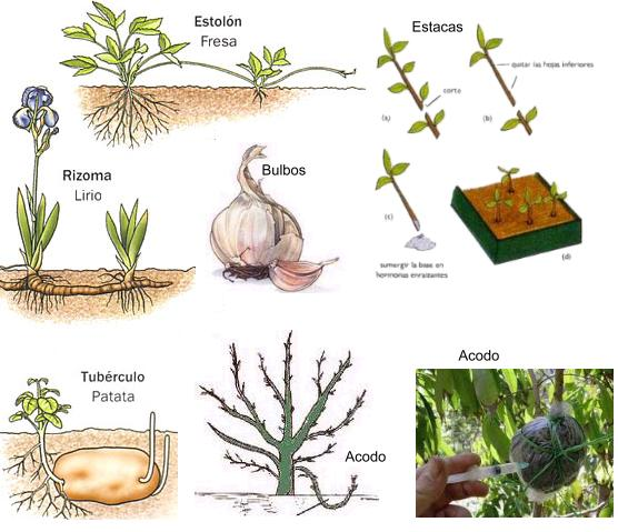 Mecanismo de reproduccion asexual de la cebolla