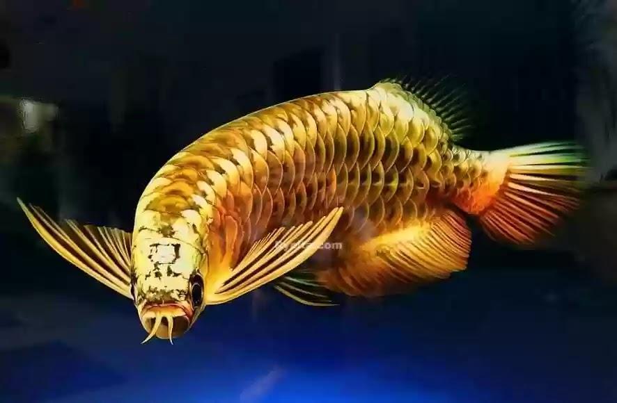 Makanan Ikan Arwana Ukuran 10cm