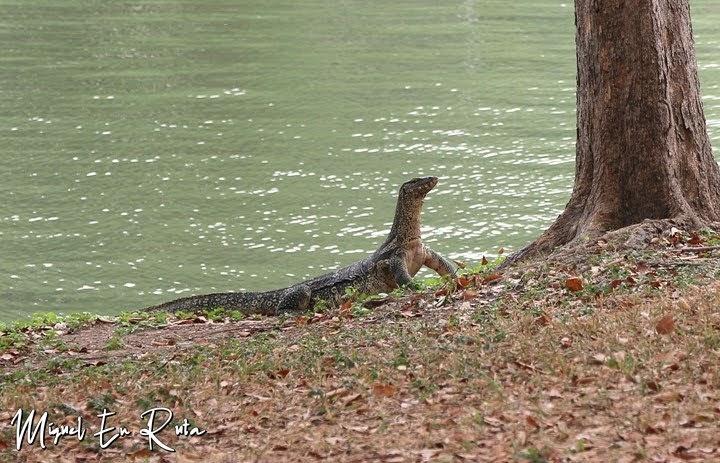 Varano en el Parque Lumpini, Bangkok