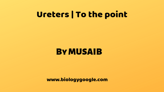Ureters | To the point