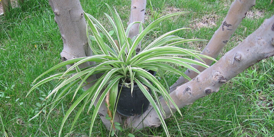 Spider Plant: How to grow and care Spider plants in pots at home