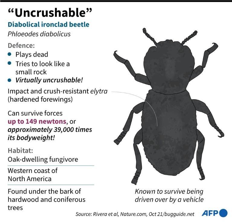 Diabolical Ironclad Beetle