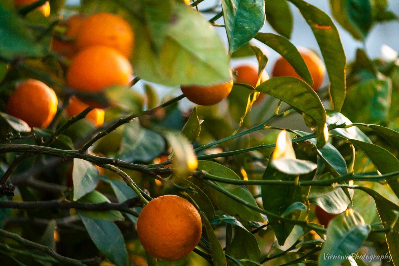 Soczyste, dojrzewające owoce pomarańczy na drzewie.