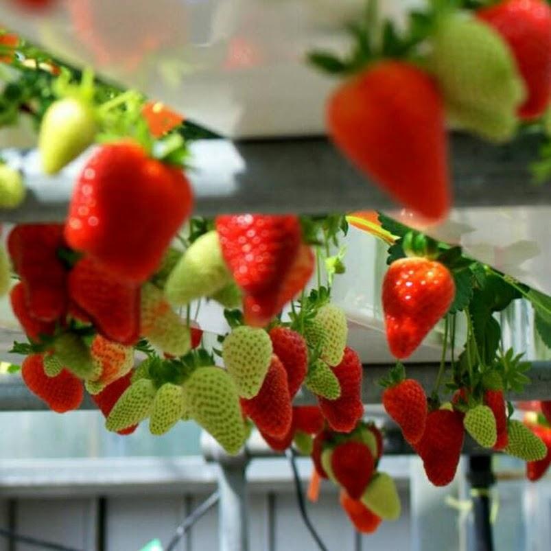 Biji Buah Milk Strawberry Rare Indoor Organik Fruit Seeds Jawa Timur