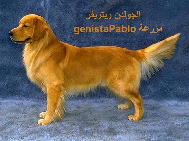 أفضل أنواع من الكلاب ممكن اقتنائها و تربيتها في المنزل