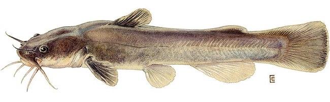 Stonecat Catfish Kentucky