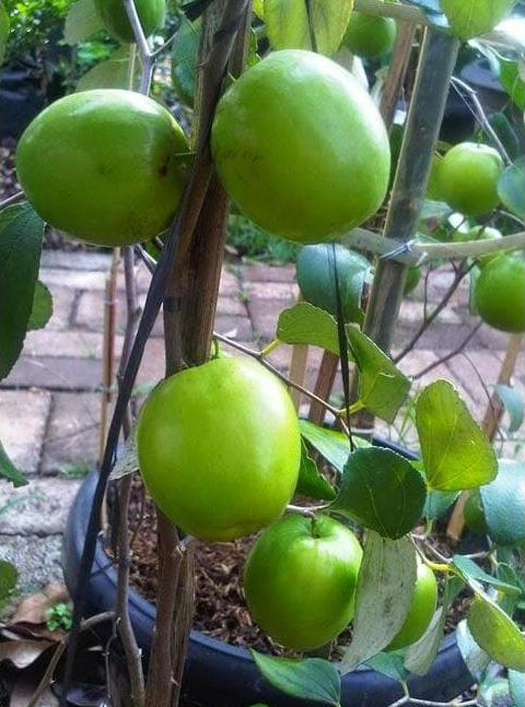 Bisa Borong! Unggul Bibit Tanaman Buah Apel Putsa India A Kota Bogor #bibit buah buahan