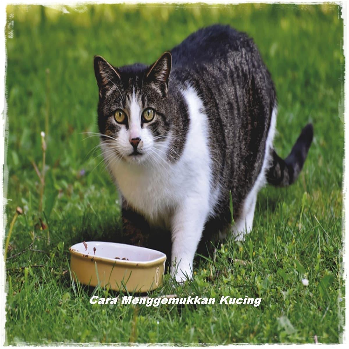 Cara Menggemukkan Kucing Kampung Dengan Makanan Ini