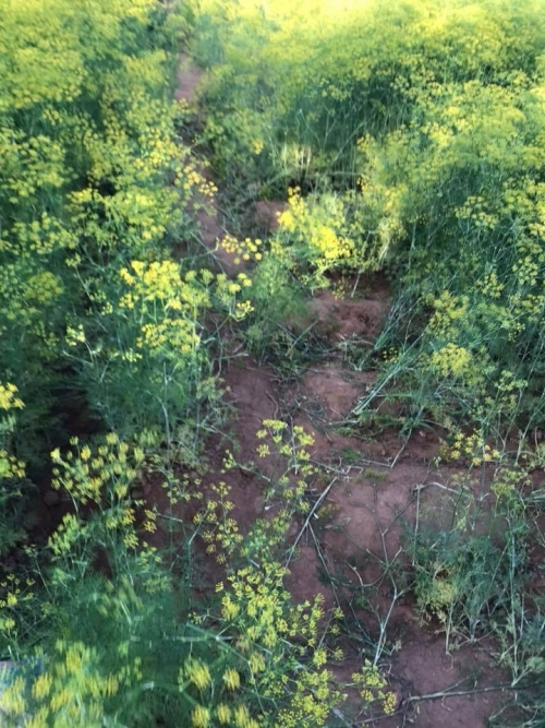 Chùm ảnh TAN THƯƠNG về cánh đồng hoa thì là gây sốt Ninh Thuận