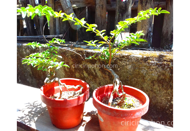 Ciri Ciri Pohon Bonsai Jeruk