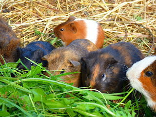 Six small guinea pigs eating vegetables on a straw bed