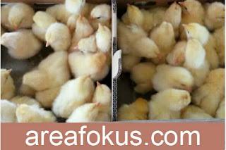 Usaha Sampingan Ternak Ayam