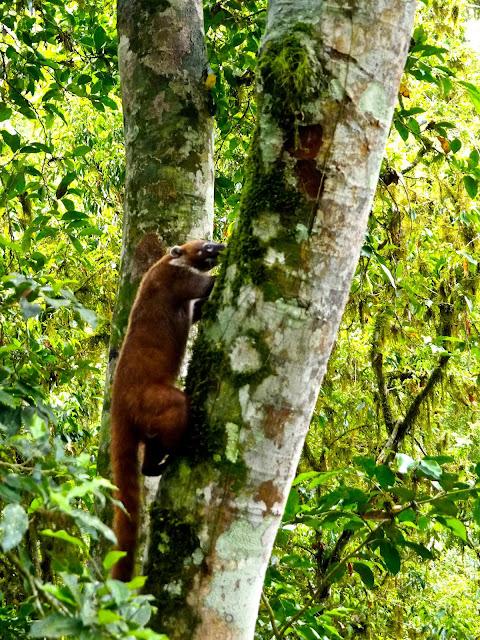 Wild coati in Tikal, Guatemala