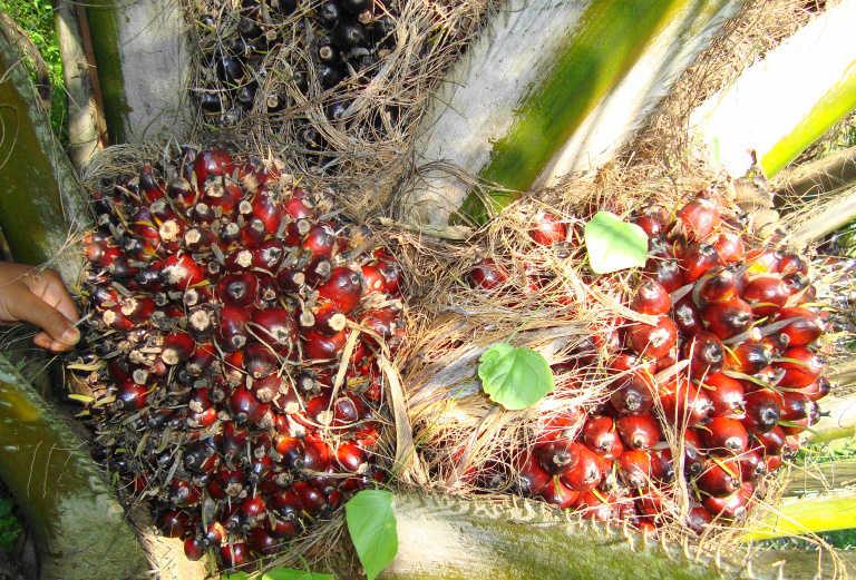 Cara Menghitung Premi Pemanen Berdasarkan Tahun Tanam di Perkebunan Kelapa Sawit