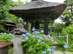 円応寺のアジサイ