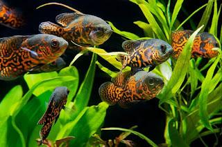 Harga Ikan Oscar Batik