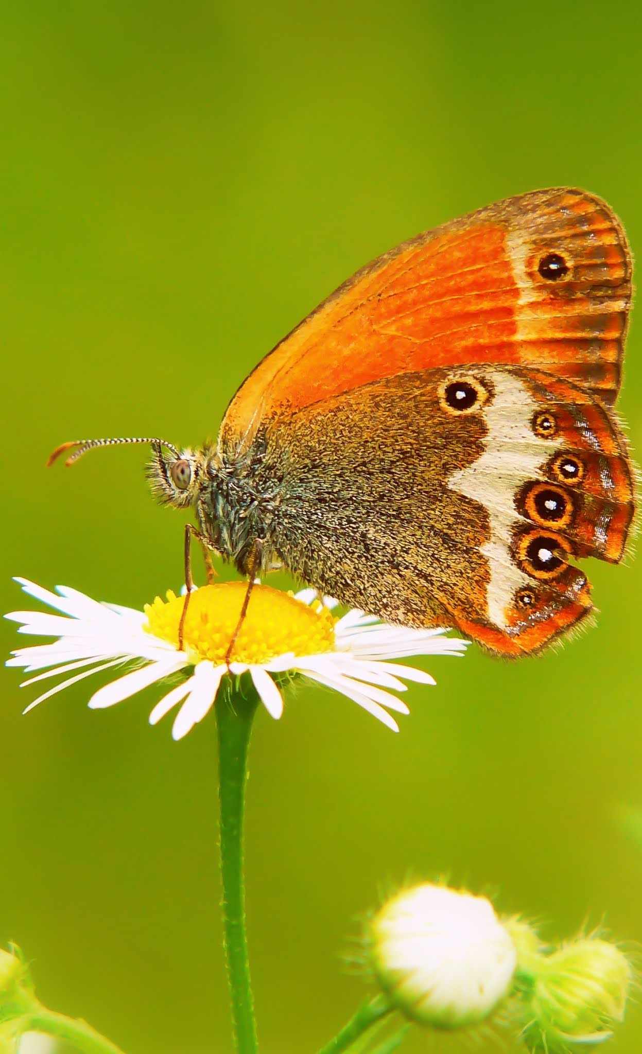 Beautiful pearly heath butterfly (Coenonympha arcania)