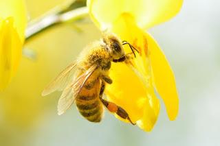 bee on a flower.jpeg