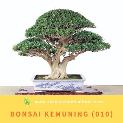 Bonsai Kemuning (010)