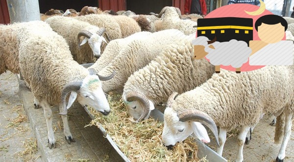 ماذا يأكل خروف العيد
