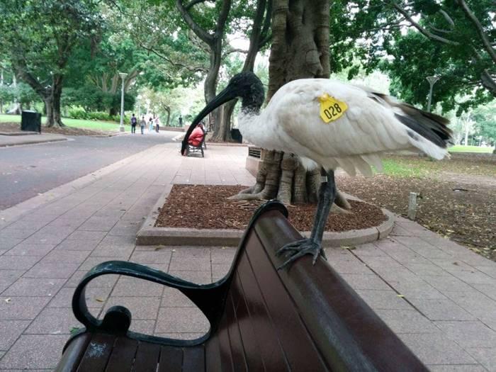 White ibises in Australia