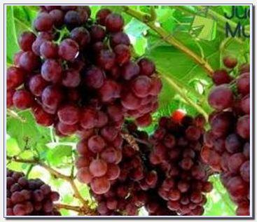 Anggur Prabu Bestari Probolinggo