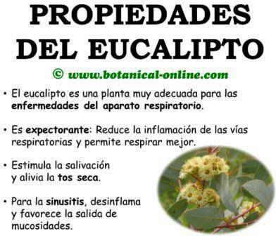 Blog de plantas es bueno fumar hojas de eucalipto para for Planta decorativa con propiedades medicinales