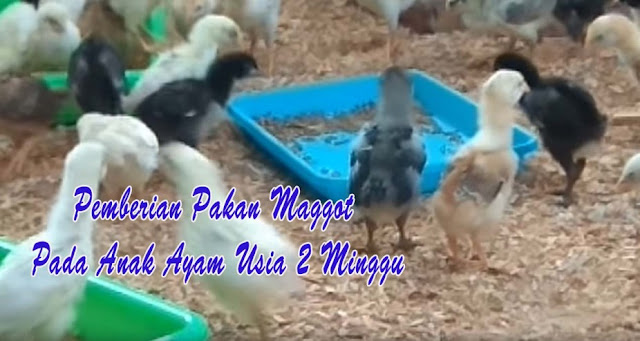 Pemberian Pakan Maggot Pada Anak Ayam Usia 2 Minggu