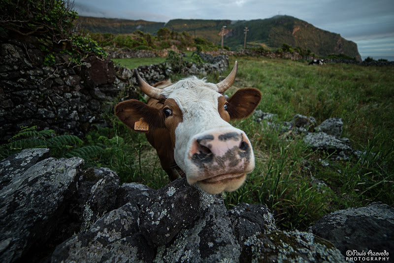 Vaca na aldeia da cuada