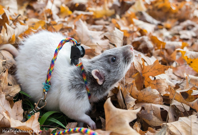Vincent the therapy rat on a leash