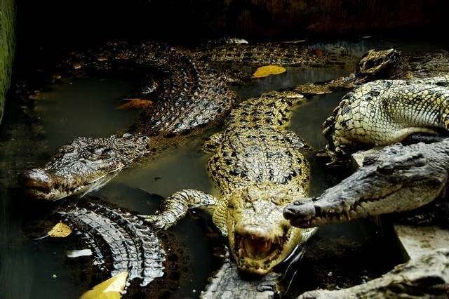 World's Effort to Maintain the Crocodile's Existence