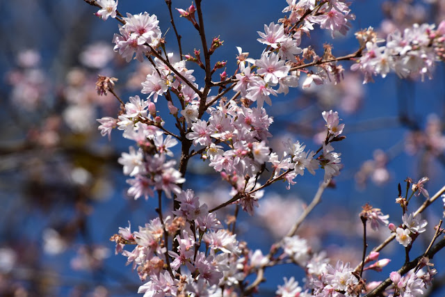 城峰公園の冬桜4