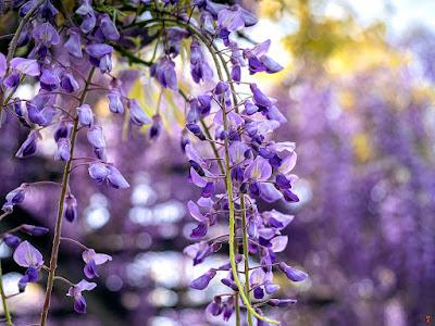 Fuji (Wisteria floribunda) flowers: Ofuna botanical garden (Kamakura)
