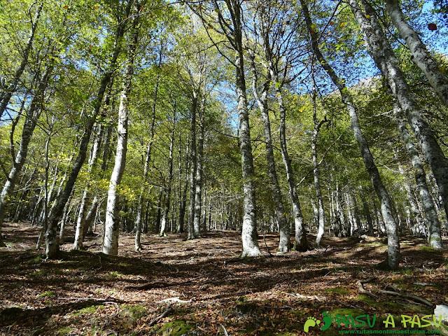 Hayas en el Bosque de Fabucao