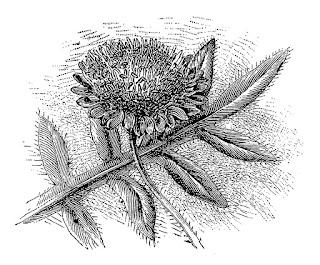 flower wildflower botanical art illustration digital download