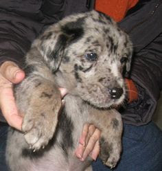Catahoula Australian Shepherd Mix Temperament, Size, Lifespan, Adoption, Price