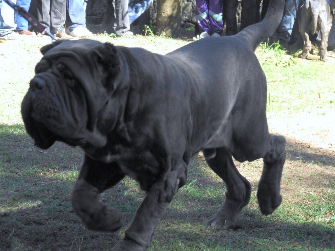 Mastiff Dog Breeds | Fun Animals Wiki, Videos, Pictures ...