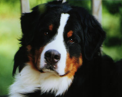 Bernese Mountain Working Dog