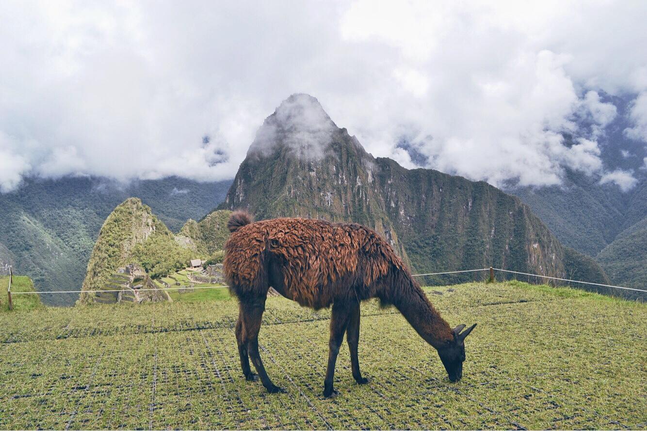 Machu Picchu, Peru, backpacking, llamas