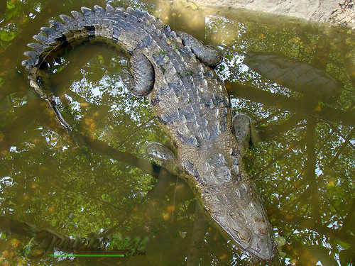 Crocodiles And Eligators Pictures Download Photos
