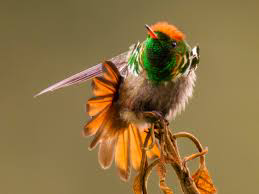 Interesting facts about frilled coquette